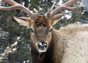 wld001 Young Bull ELk